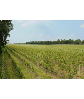 Wijngaard in Harskamp